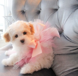 dogs in tutus